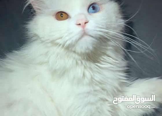 ذكر شيرازي جميل كل عين لون للتزاوج