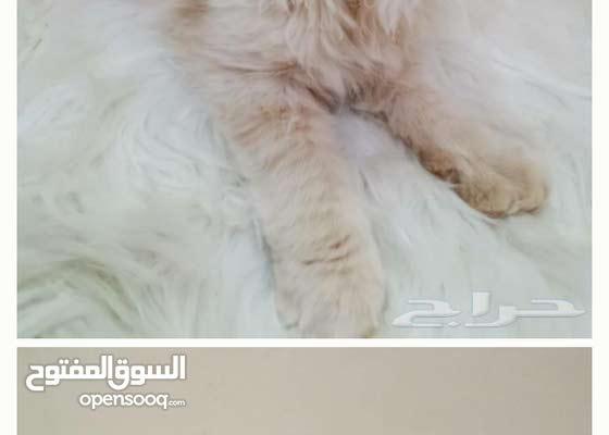 قطه شيرازي هيملايا