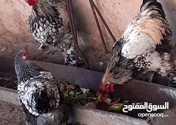 دجاج برهمي للبيع