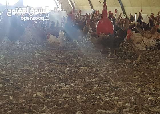 دجاج بياض مهجن عماني فرنسي للبيع