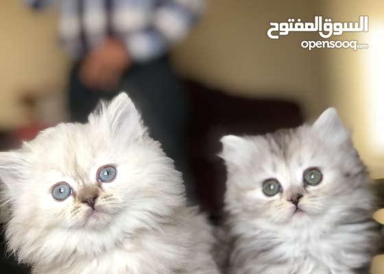 قطط للبيع شيرازي كيتي فيس