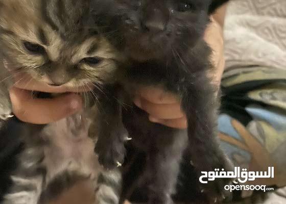 قطط صغيره سكوج لون رمادي واسود ومخطط