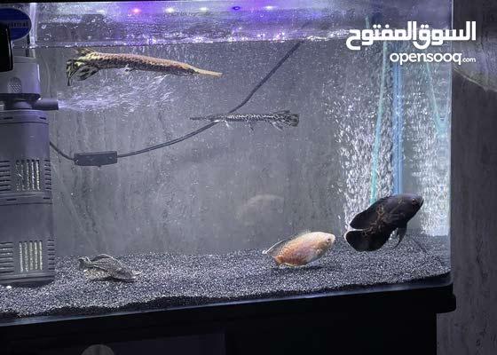 حيتين قار و حبتين اوسكار و بليكو 2 gar fish and 2 Oscar and 1 pleco