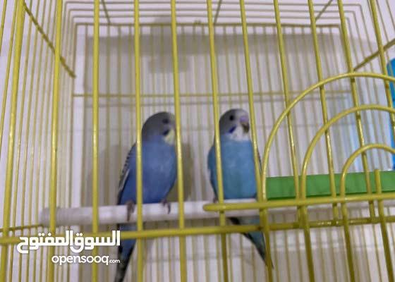 طيور زينه للبيع (طيور حب )