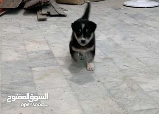 husky X Labrador