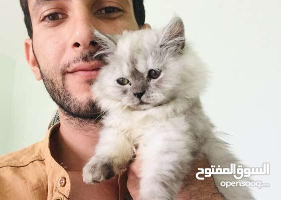 قط برتش ذكر العمر 3 اشهر