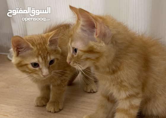 عدد (2) قطة شيرازي أمريكي