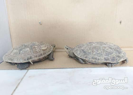 نموذج  البيع النوع:Caspian turtle