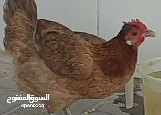egg laying hen for sale