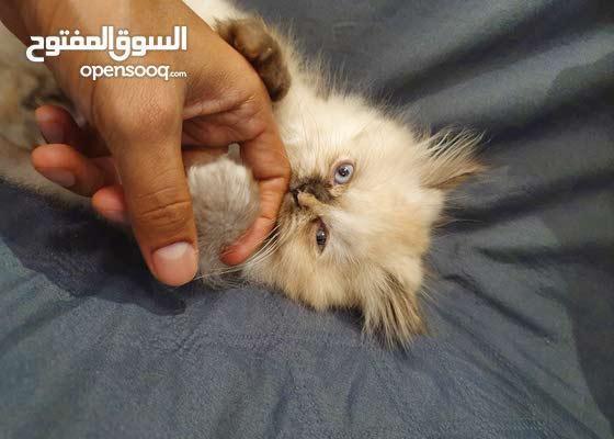 هملايا Himalaya kitten