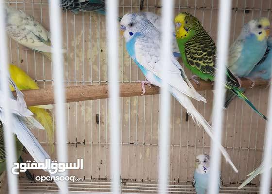 مجموعة مميزة من طيور الباجي للبيع جملة أو للزوج