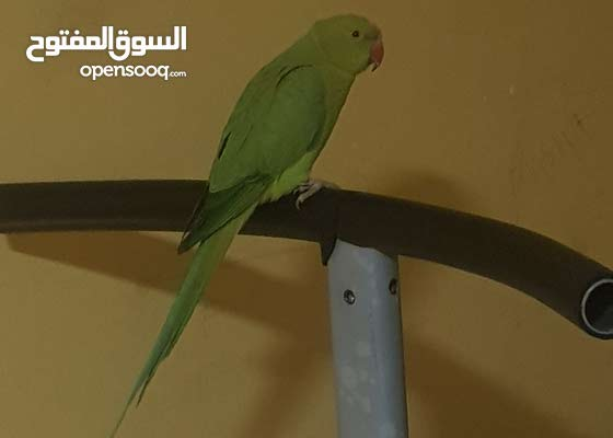for sale parrot