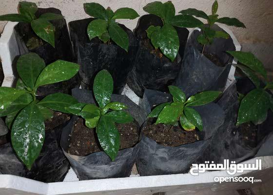 شجرة القهوة العربيه