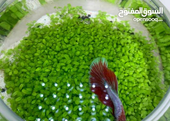 Table Top bowl live plants Aquarium with Betta