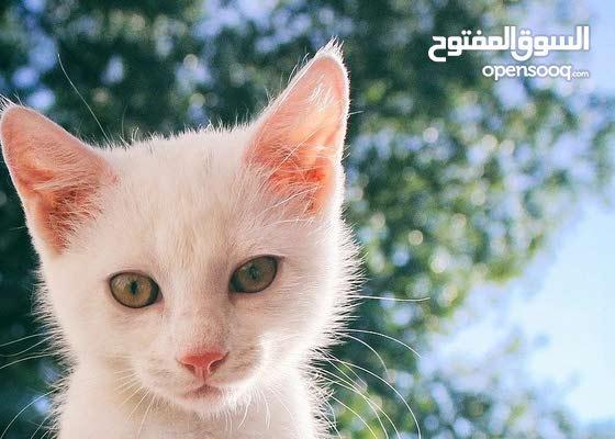 قط أبيض للبيع