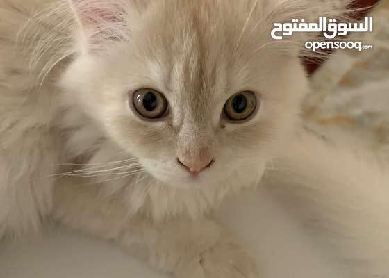 قطط شيرازيه اصيله الواحده ب 1000 درهم فقط