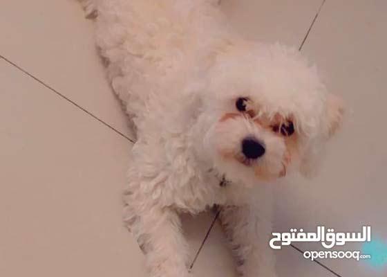 كلب للتزاوج = مو للبيع - مالتيز بيور