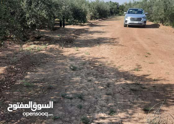 بستان زيتون حمال للبيع شمال الضلوعية الحردانية