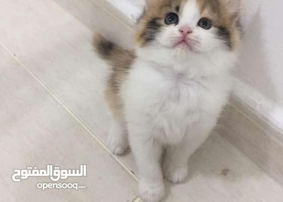قطة شيرازي بيور انثى ...