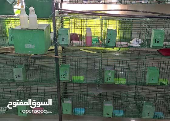 البطاريات الأرانب للبيع
