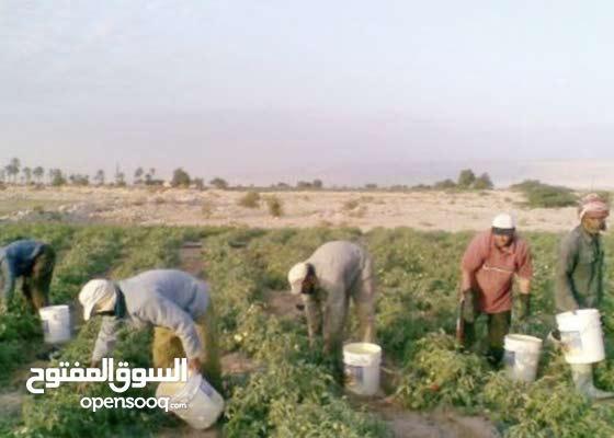 مطلوب عمال لمزرعه معاش 150+ 20 اكل