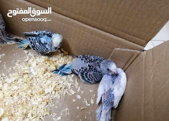طيور حب فروخ للغر