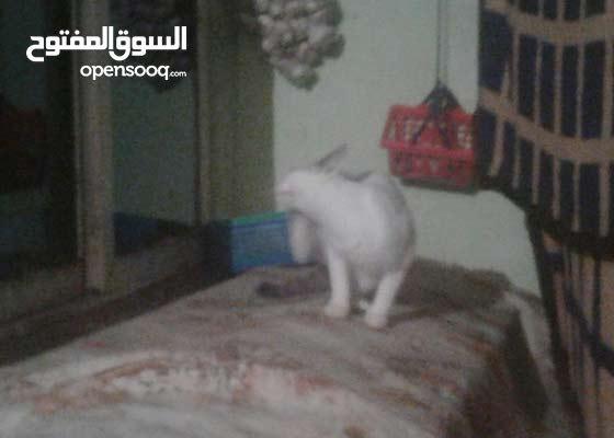 قطة لبيع