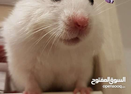 syrian & dwarf hamsters