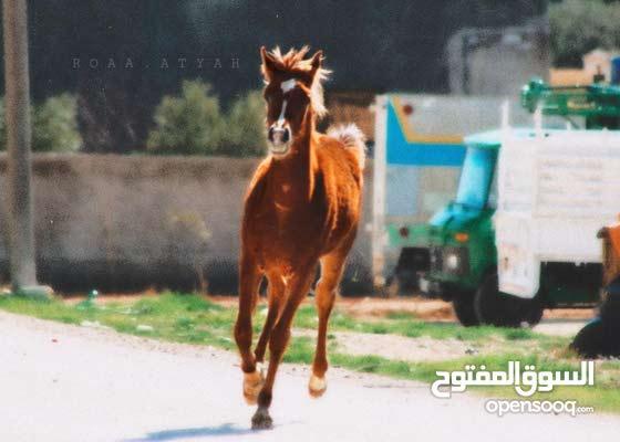 مهرة عربية أصيلة عمرها سنة