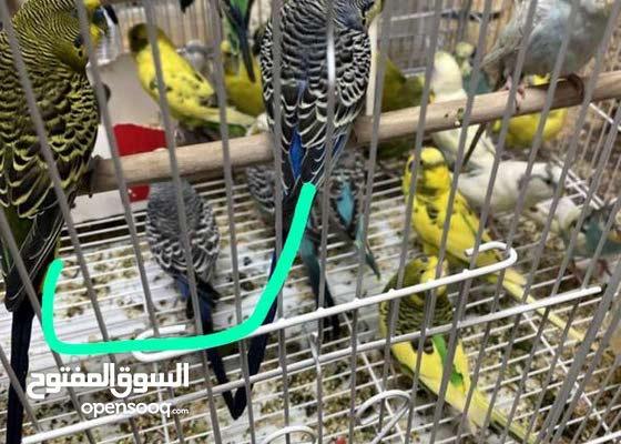 طيور الحب وببغاوت انواع غيرها التواصل واتس