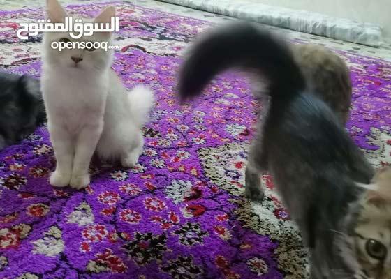 قطط شيرازي/قطط فحل شيرازي عمرة 3 اشهر  لون نادر هوة وامة متعلم على كلشي و