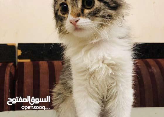 قطه شيرازيه صغيره