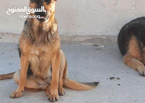 كلبة جيرمن شيبرد