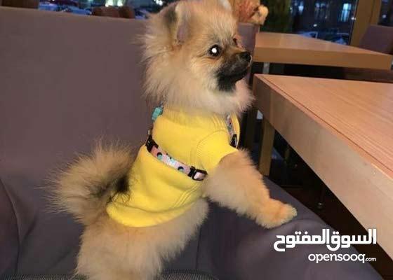 كلب بوميرنيان للبيع للطلب