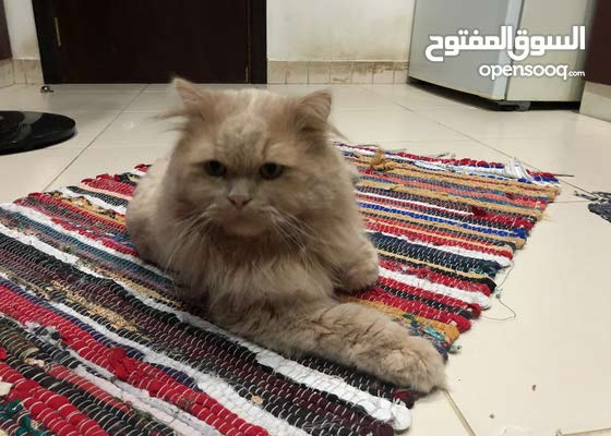 male cat free adoption