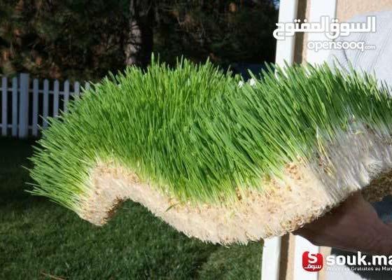 أعلاف خضراء طازجة ذات قيمة غذائية عالية