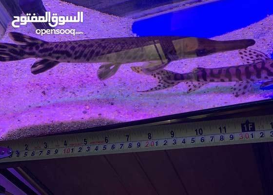 بيع او بدل Alligator gar & Tiger catfish