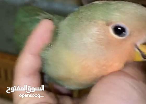 love bird 3 month old