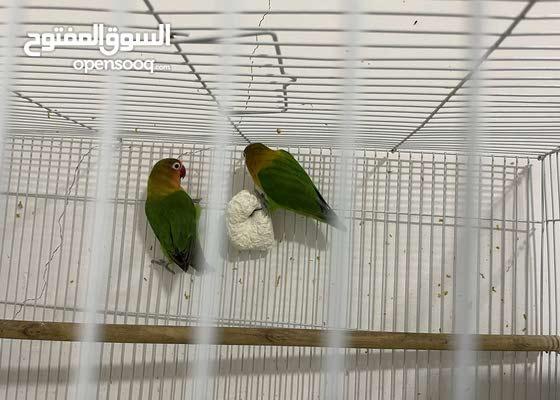 Love Birds pair for sale