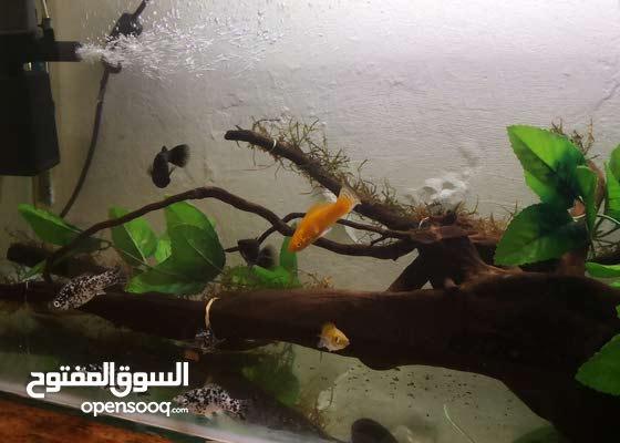 30 gallon aqarium with breeding pairs of molly fish