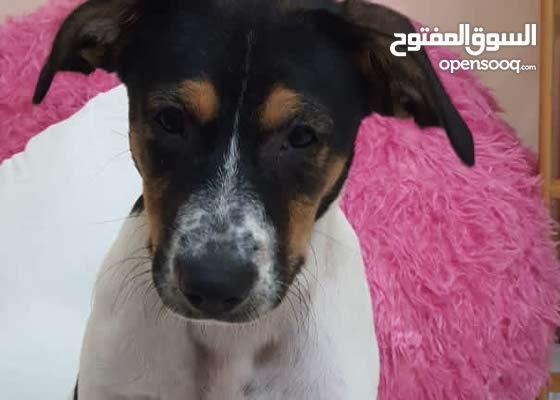 كلب جيرمن2500 وكلب بوينتر3000عمر اربع شهور سعر غير قابل للتفاوض
