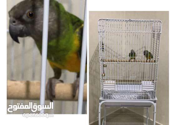 زوج سنجالي للبيع Senegal Parrot For Sale