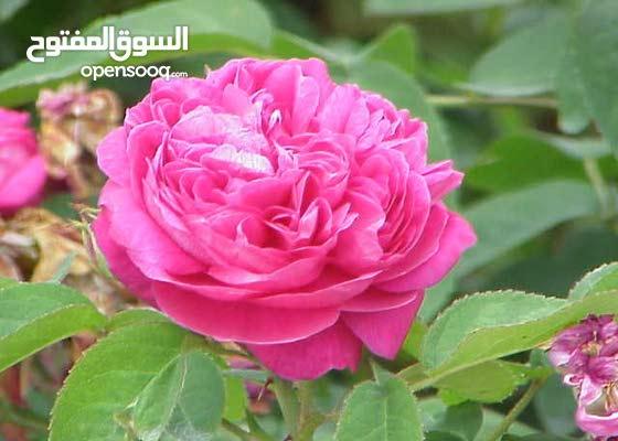 مدرس اردني متخصص في تعليم القراءة والحساب