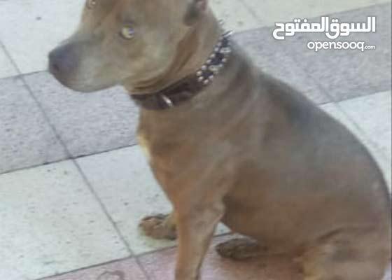 كلب بيتبول العمر 7شهور