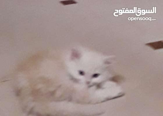 قط البيض شيرازي وامه رصاصية اللون