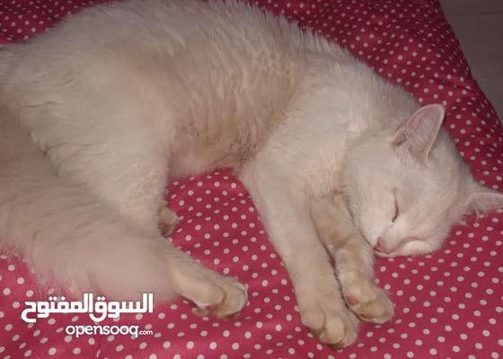 قطط بيضاء فصيلة