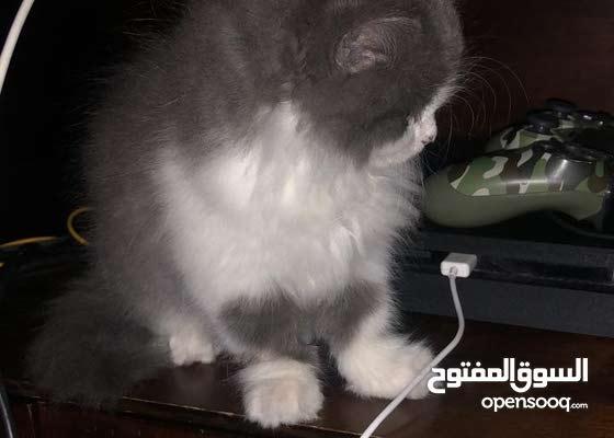 pure ragmuffin kitten for sale