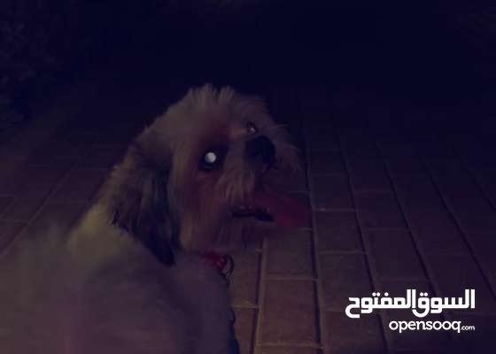 كلب شيتزو Shih Tzu