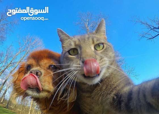 تنشيط القطط  الذكور  للتزاوج
