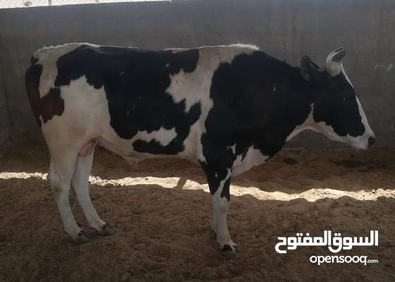 بقرة للبيع.              cow for sale